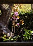 Branche y tronco dobles de la flor de cerezo Imagen de archivo