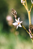 Branched asphodel in springtime Stock Images