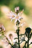 Branched asphodel in springtime Stock Image