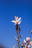 Branched asphodel in springtime Royalty Free Stock Photo