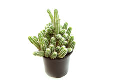 Branched cactus Royalty Free Stock Photo