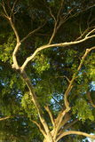 Branched out tree. In the morning Royalty Free Stock Photography