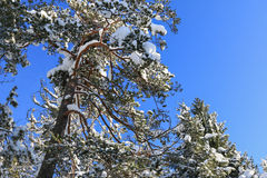 Branched of Pine trees covered in snow Stock Photography