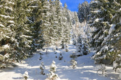 Branched of Pine trees covered in snow Royalty Free Stock Images