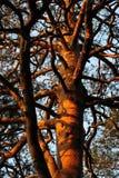 Branched sörjer Royaltyfria Foton