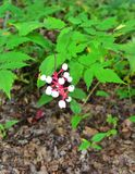 White Baneberry bush foliage and berry cluster. The branched stems, from 1-3 ft. tall bear two or three large compound leaves, each thrice divided. Leaflets are royalty free stock image