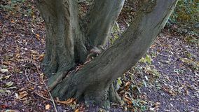Branched tree. Group of trees, three-piece trunk. Branched tree - tree group with three-piece trunk on the hillside Royalty Free Stock Images