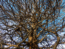 Branched tree Royalty Free Stock Photo