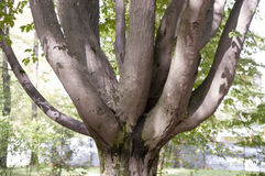 Branched tree trunk. The nature branched out repeatedly a tree trunk Royalty Free Stock Image