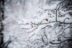 Branchement couvert de neige image stock