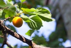 Branchement d'abricotier. Photographie stock