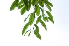 Branchement d'arbre Photos stock