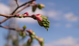 Branchement d'arbre avec des bourgeons Photo stock