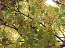 Branchement d'arbre avec des lames Image libre de droits