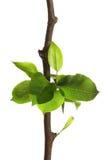 Branchement d'arbre avec des lames d'isolement sur le blanc Image stock