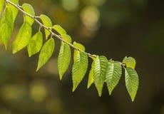 Branchement d'arbre avec les lames vertes images libres de droits