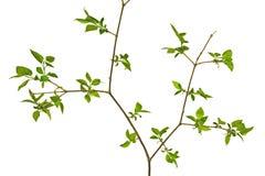 Branchement d'arbre avec les lames vertes Photo libre de droits