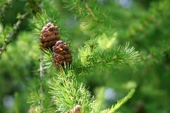 Branchement d'arbre conifére avec des cônes Photos stock
