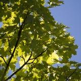 Branchement d'arbre d'érable Photographie stock