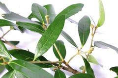 Branchement d'arbre de chêne Photo stock