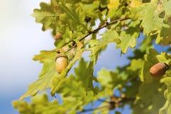 Branchement d'arbre de chêne avec des glands Image stock