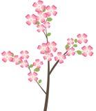 Branchement d'arbre de cornouiller de floraison Photographie stock libre de droits