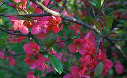 Branchement d'arbre de floraison Image stock