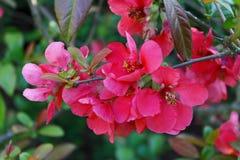 Branchement d'arbre de floraison Images stock