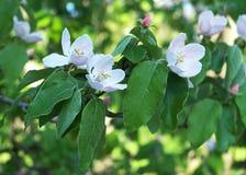 Branchement d'arbre de floraison Photo stock