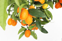 Branchement d'arbre de kumquat Image stock