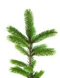 Branchement d'arbre de pin Photo libre de droits