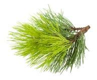Branchement d'arbre de sapin Image libre de droits
