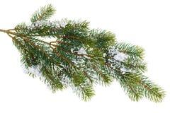 Branchement d'arbre de sapin couvert de neige image stock