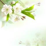 Branchement d'arbre se développant avec les fleurs blanches Photo stock