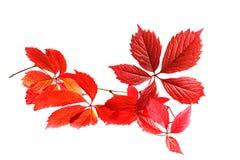 Branchement d'automne des raisins sauvages Photographie stock libre de droits