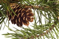 Branchement d'isolement de pin avec des cônes Photographie stock libre de droits