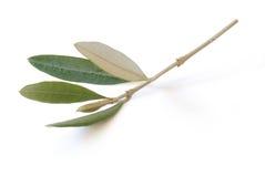 Branchement d'olive photographie stock