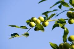 Branchement d'olives vertes. Photo stock