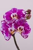 Branchement d'orchidée rose Photos stock