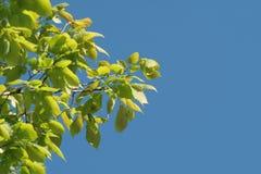 Branchement d'un arbre Photographie stock