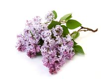Branchement d'un lilas Images stock
