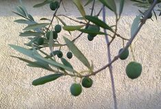 Branchement d'un olive-arbre avec les fruits verts Photographie stock