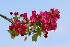 Branchement d'un pomme-arbre. Images libres de droits