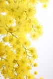 Branchement d'une mimosa Photo stock