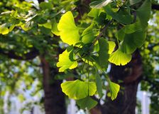 Branchement de Biloba de Ginkgo Photographie stock libre de droits
