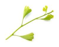 Branchement de biloba de Ginkgo avec des lames Images stock