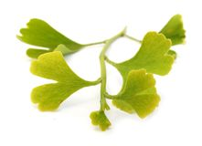 Branchement de biloba de Ginkgo avec des lames Photos stock
