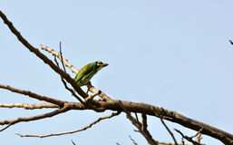 Branchement de Bird_Coppersmith Barbet_perched_dry Images stock