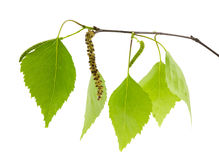 Branchement de bouleau avec les lames vertes fraîches. Photos stock