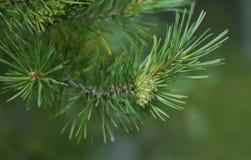 Branchement de cône de pin Photos libres de droits